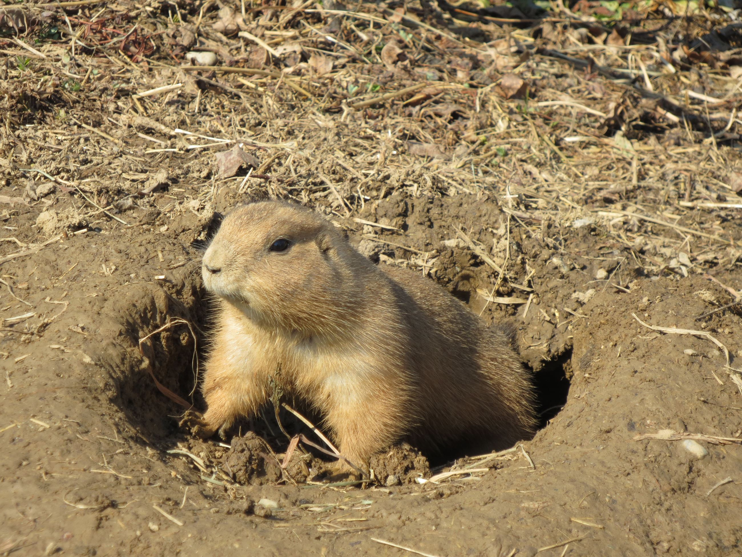Black Tailed Prairie Dog Communication