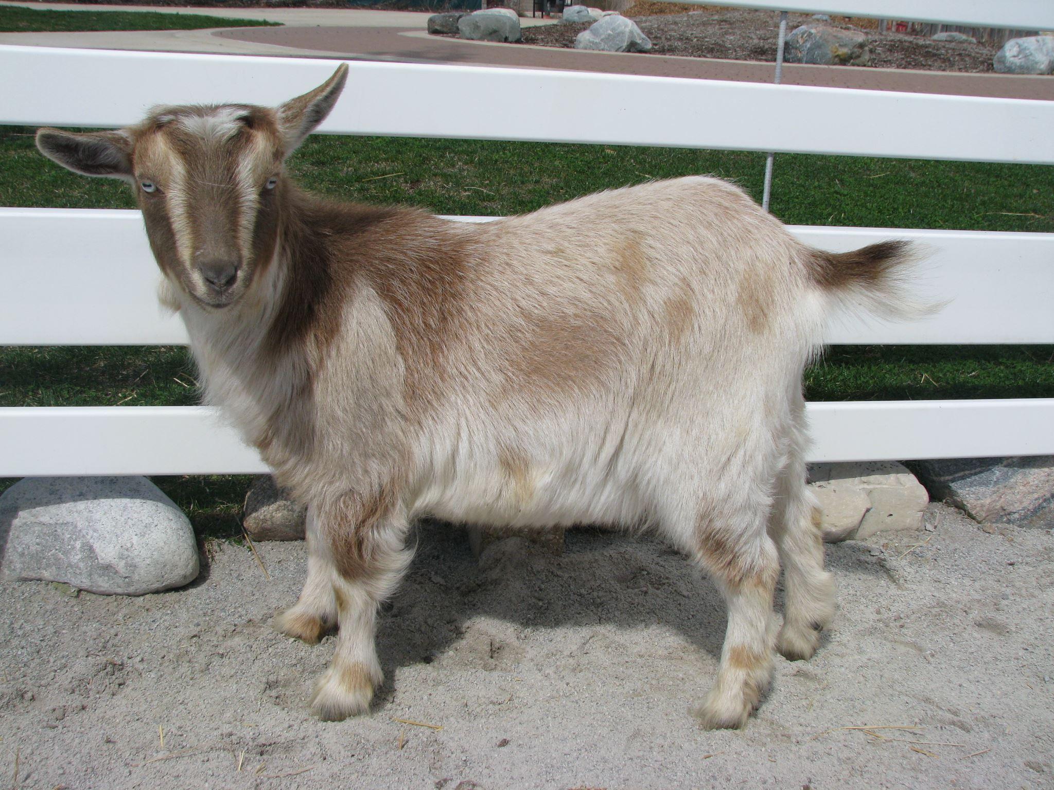 Nigerian Dwarf Goat | Lafayette, IN - Official Website